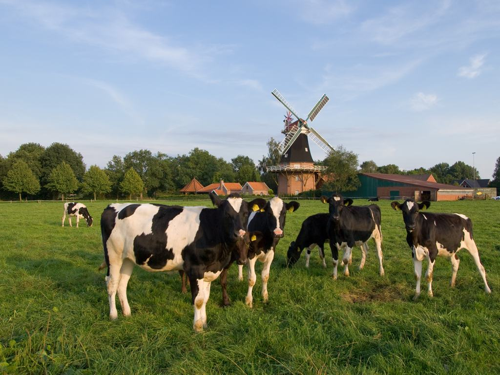 Kühe Rhauderfehn